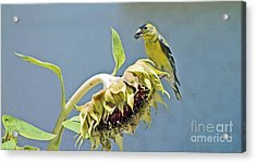 Helping With Harvest Acrylic Print