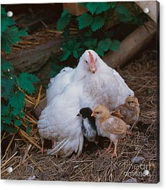 Hen With Chicks Acrylic Print by Hans Reinhard