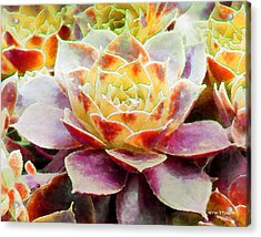 Hens And Chicks Series - Early Morning Quite Acrylic Print by Moon Stumpp
