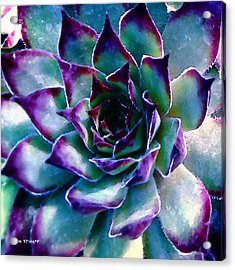 Hens And Chicks Series - Evening Hues Acrylic Print by Moon Stumpp