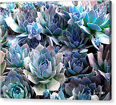 Hens And Chicks Series - Evening Light Acrylic Print by Moon Stumpp