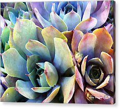 Hens And Chicks Series - Soft Tints Acrylic Print