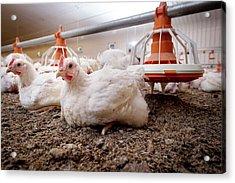 Hens Sitting On A Barn Floor Acrylic Print