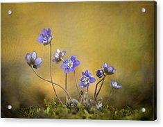 Hepatica Nobilis Flower Acrylic Print