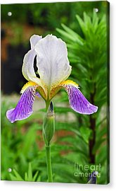 Acrylic Print featuring the photograph Her Majesty Iris  by Steve Augustin