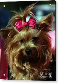 Her Pinkness Acrylic Print by Steven  Digman
