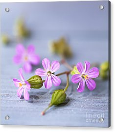Acrylic Print featuring the photograph Herb Robert by Jan Bickerton