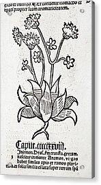 Herbal Plant Acrylic Print by Paul D Stewart