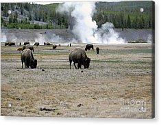 Herd Of Bison Grazing In Front Of Steam Vents Yellowstone National Park Acrylic Print by Shawn O'Brien