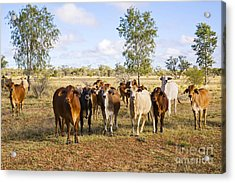 Herd Of Brahman Cattle In Outback Queensland Acrylic Print by Colin and Linda McKie