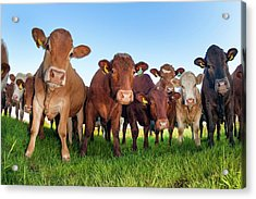 Herd Of Cows Acrylic Print by Alex Hyde
