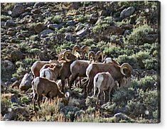 Herd Of Horns Acrylic Print