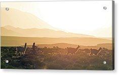 Herd Of Llamas Lama Glama In A Desert Acrylic Print by Panoramic Images