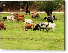 Herd Of Texas Longhorn Cattle In Green Acrylic Print by Piperanne Worcester