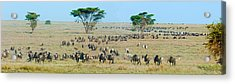 Herd Of Wildebeest And Zebras Acrylic Print by Panoramic Images