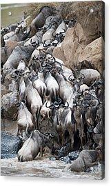 Herd Of Wildebeests Crossing A River Acrylic Print