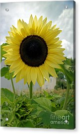Here Comes The Sun...flower. Acrylic Print