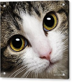 Here Kitty Kitty Close Up Acrylic Print by Andee Design