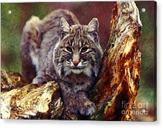 Here Kitty Kitty Acrylic Print by Lianne Schneider