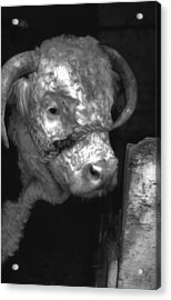 Hereford Bull In Black And White Acrylic Print