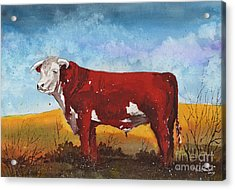 Hereford Bull Acrylic Print by Tim Oliver