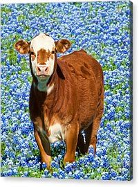 Heres Looking At You Kid - Calf With Bluebonnets In Texas Acrylic Print by David Perry Lawrence