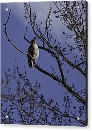 Here's Looking At You Acrylic Print by Thomas Young
