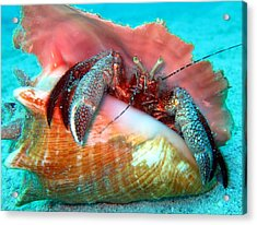 Hermit Crab Caribbean Sea Acrylic Print by Laura Hiesinger