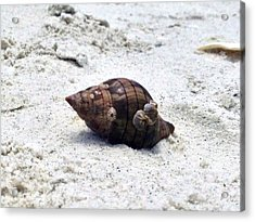Hermit Crab Of Siesta Key Florida Acrylic Print