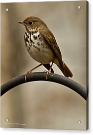 Acrylic Print featuring the photograph Hermit Thrush by Robert L Jackson