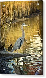 Heron Along The Bayou Acrylic Print by Joan McCool