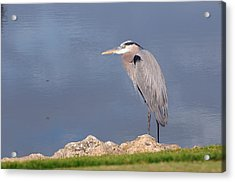 Heron And Pond Acrylic Print by Kenny Francis