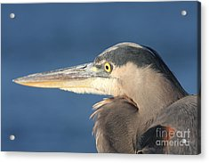 Heron Close-up Acrylic Print by Christiane Schulze Art And Photography