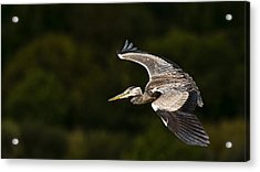 Heron Coming In To Land Acrylic Print