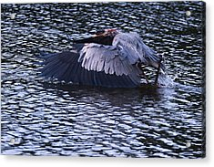 Heron Crash Landing Acrylic Print by Jillian  Chilson