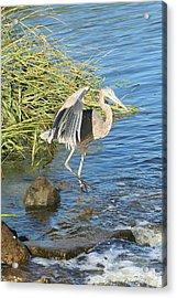 Heron Dance Acrylic Print by Karen Silvestri