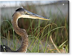 Heron In The Grass Acrylic Print