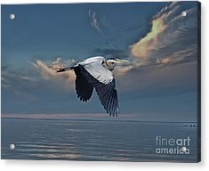 Heron Night Flight  Acrylic Print