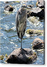 Acrylic Print featuring the photograph Heron On One Leg by Kenny Glotfelty