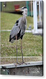 Heron On The Edge Acrylic Print