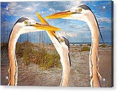 Herons Acrylic Print by Betsy Knapp