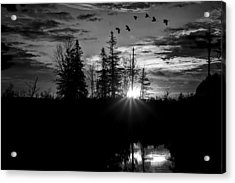 Herons In Flight - Black And White Acrylic Print