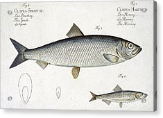 Herring Acrylic Print by Andreas Ludwig Kruger
