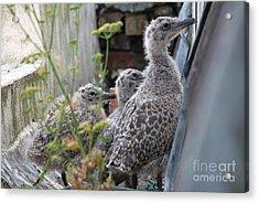 Herring Gull Chicks Acrylic Print