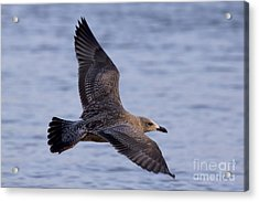 Acrylic Print featuring the photograph Herring Gull In Flight Photo by Meg Rousher