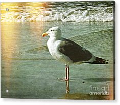Herring Gull Watching Acrylic Print