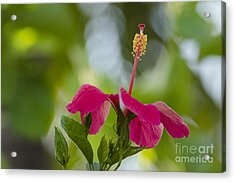 Hibiscus Blooming Acrylic Print
