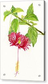 Hibiscus Chinese Red Lantern Acrylic Print by Sharon Freeman