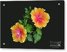 Acrylic Print featuring the photograph Hibiscus Duo by Susan Wiedmann