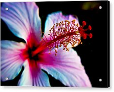 Acrylic Print featuring the photograph Hibiscus Extending by Joseph Hollingsworth